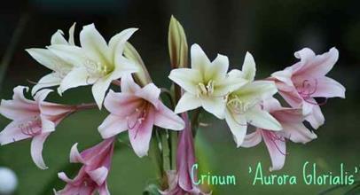 Crinum 'Aurora Glorialis'