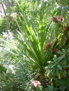 Crinum 'Timeless' foliage