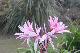 Crinum 'Tina' flower