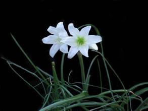 Crinum campanulatum 'Cape Sensation'
