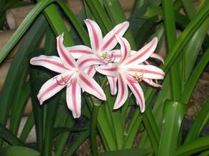 Crinum carolo-schmidtii x (Crinum americanum x Crinum macowanii) x Crinum moorei