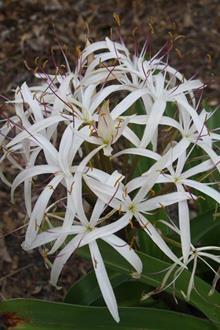 Crinum hildebrandtii Madagascar