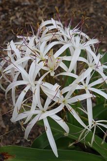 Crinum hildebrandtii 'Pinwheel'