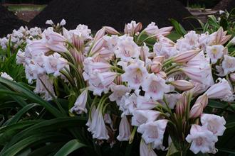 Crinum macowanii 'Flowerama'