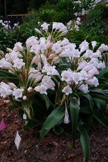 Crinum macowanii 'Trumpeteer'