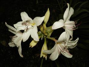 Crinum paludosum x Crinum luteolum x Crinum americanum