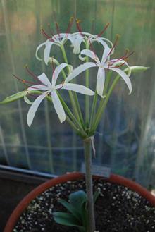 Crinum xerophilum Madagascar