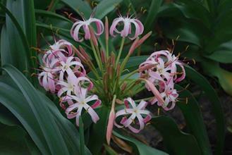 Crinum buphanoides Transvaal