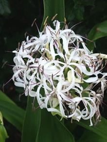 Crinum japonicum