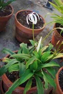 Crinum kunthianum