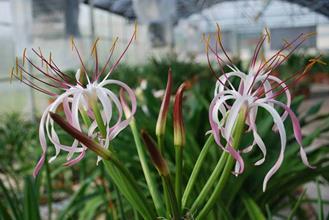 Crinum mauritanum twisted petals
