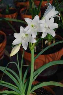 Crinum rautanenianum Namibia