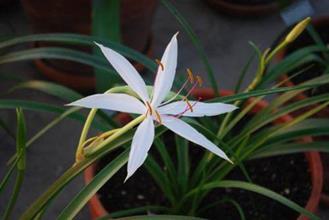 Crinum roperensis