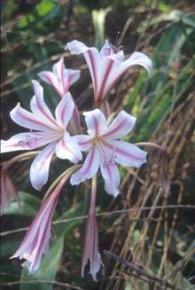 Crinum x herbertii 'Gulf Pride'