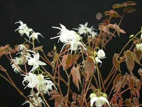 Epimedium sempervirens 'Creamsickle'