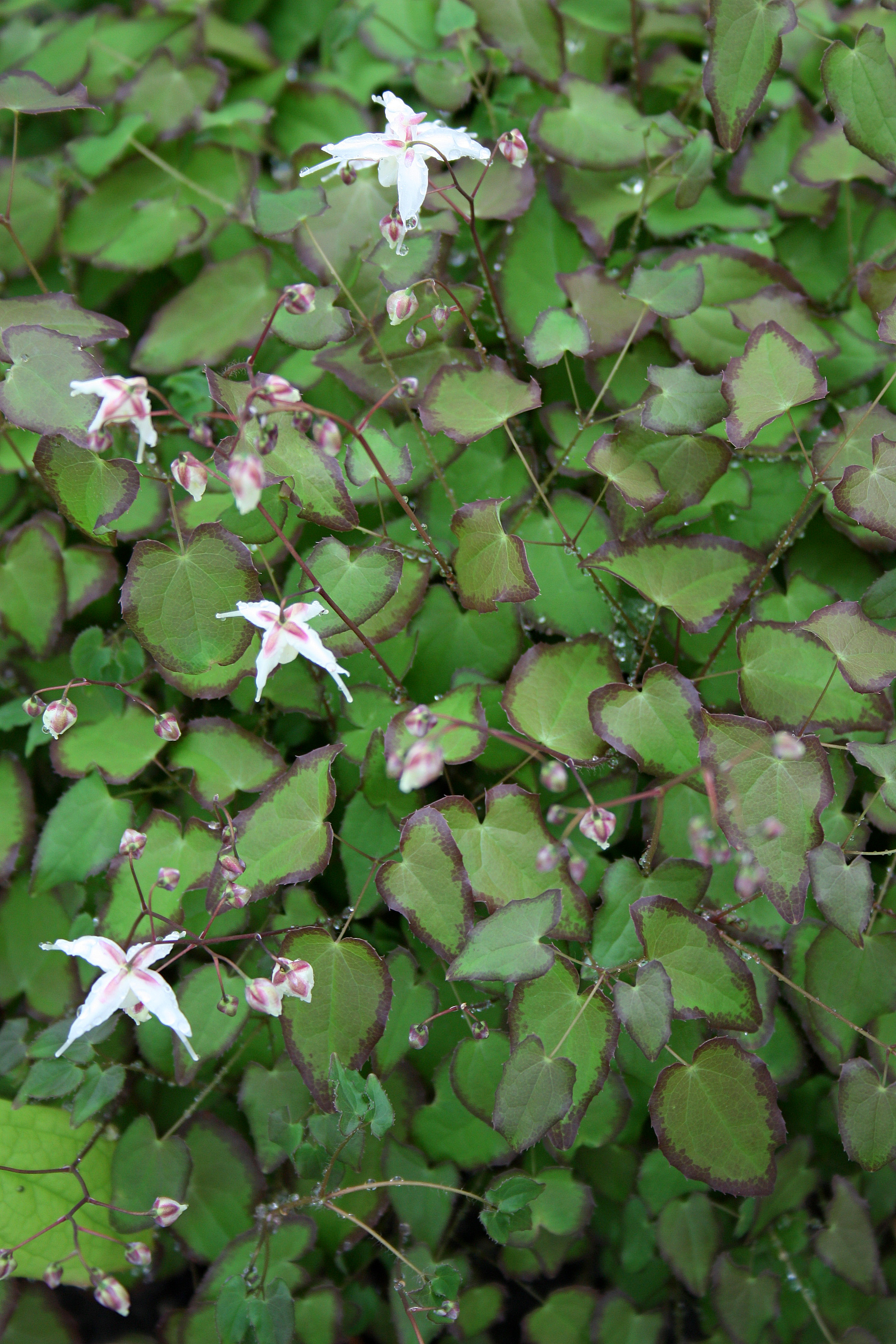 Epimedium 'After Midnight' @ JLBG - a Diana Reeck/Collector's Nursery introduction