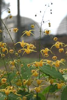 Epimedium 'Amber Queen' PP 17,197