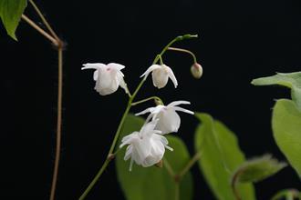 Epimedium 'Anju'