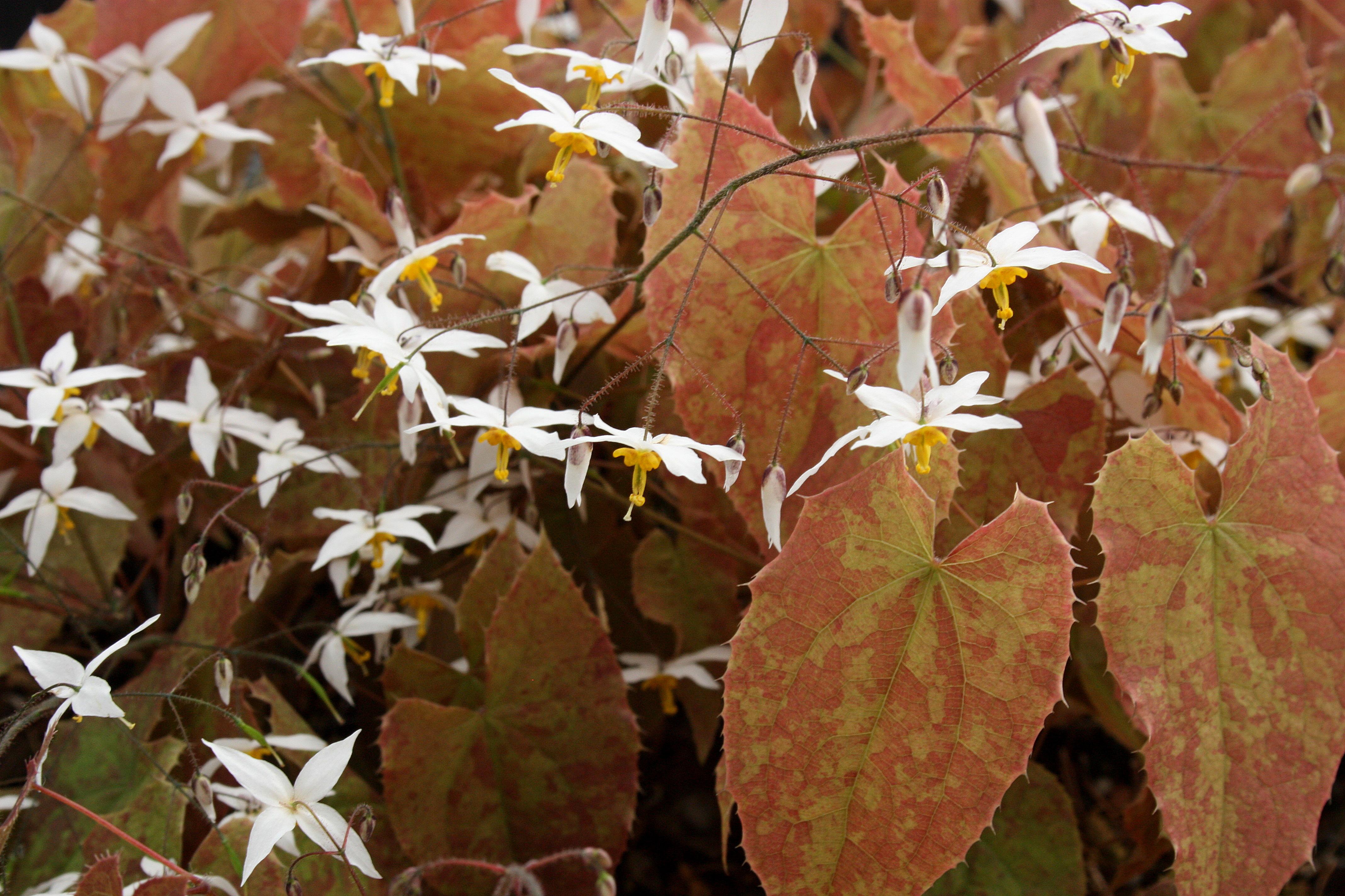 Epimedium 'Arctic Wings' @ JLBG is a Robin White hybrid of Epimedium ogisui and Epimedium latisepalum;