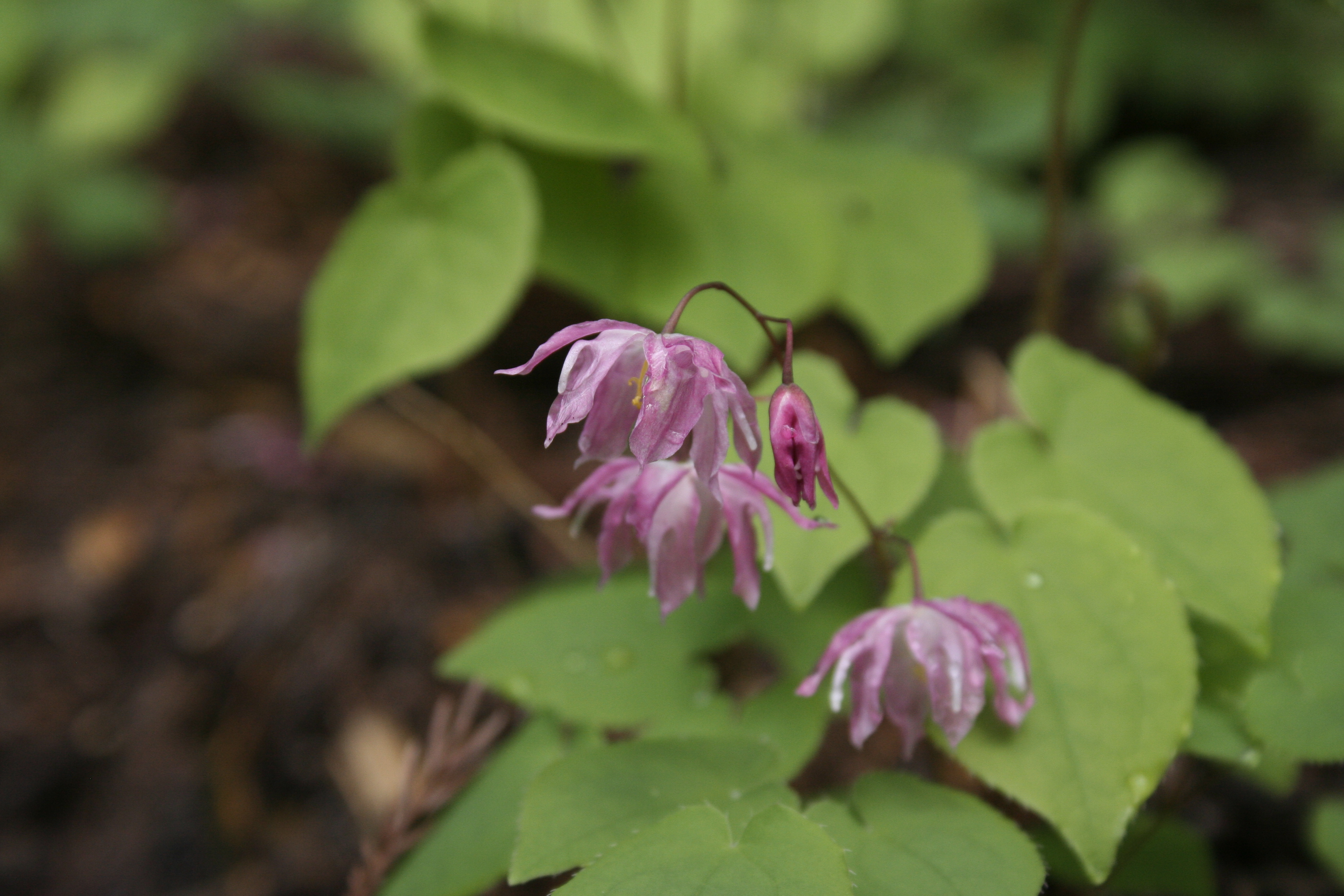 Epimedium x youngianum 'Beni-kujaku' @ Japan (T. Izumi) - name means Red Peacock'; deciduous