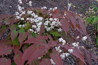 Epimedium 'Cinnamon Coconut'