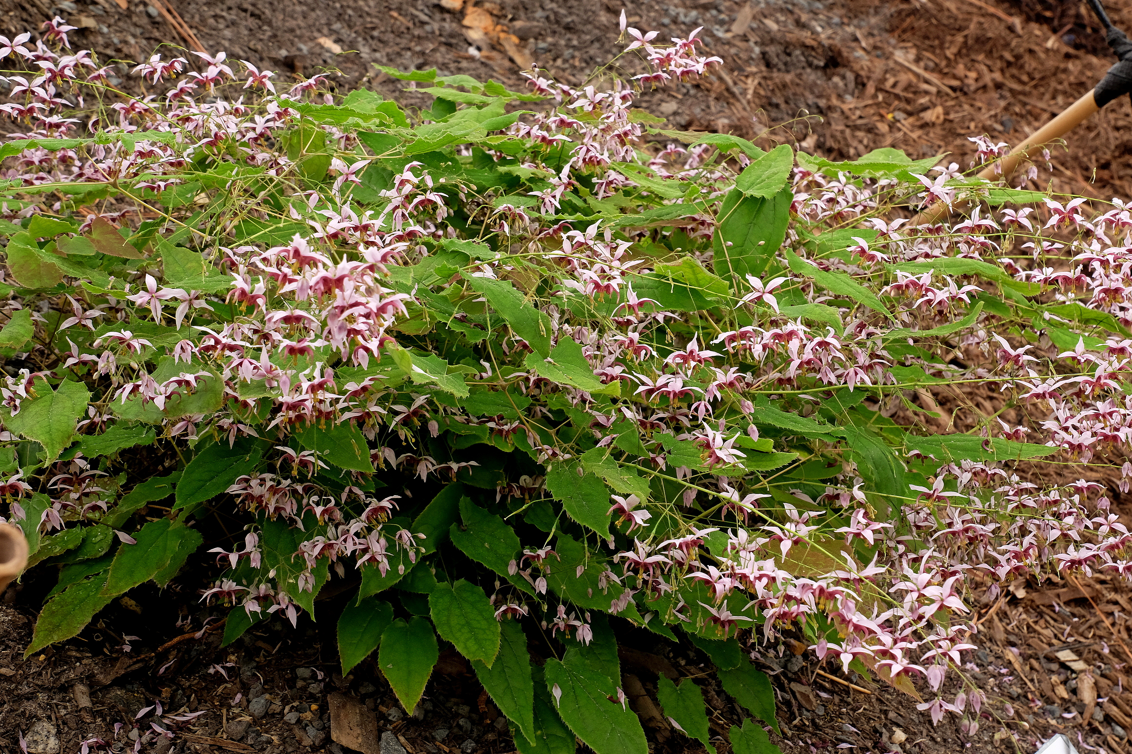 Epimedium 'Cosmic Stars' @ JLBG; (PDN11-008) - a 2019 JLBG/PDN introduction
