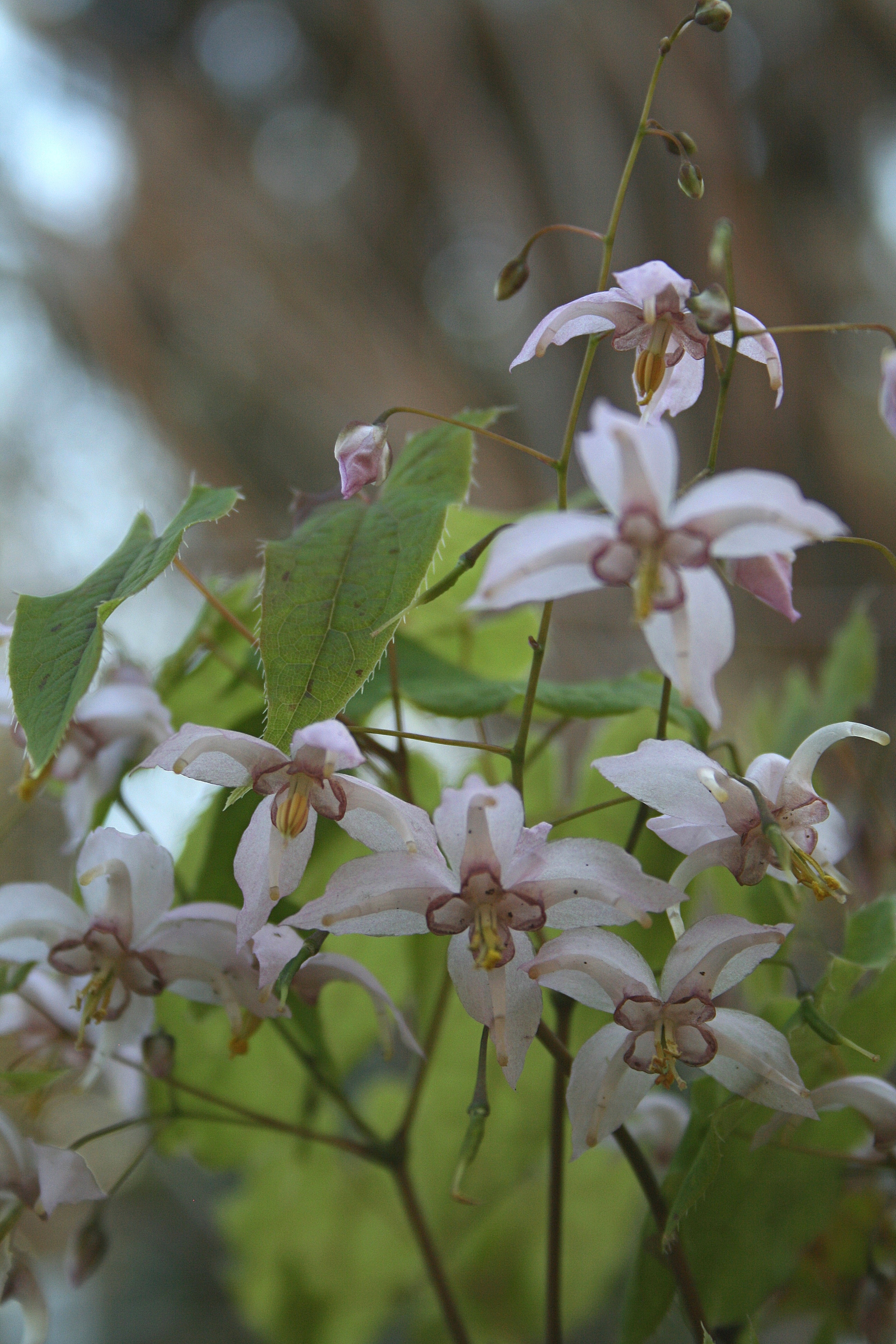 Epimedium 'Enchantress' @ JLBG - a Washfield Nursery introduction of a cross of Epimedium dolichostemon x leptorrhizum; evergreen