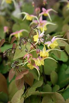 Epimedium 'Fire Dragon' PP 17,179