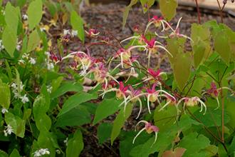 Epimedium 'Flame Thrower'