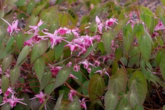 Epimedium 'Flamingo Dancer'