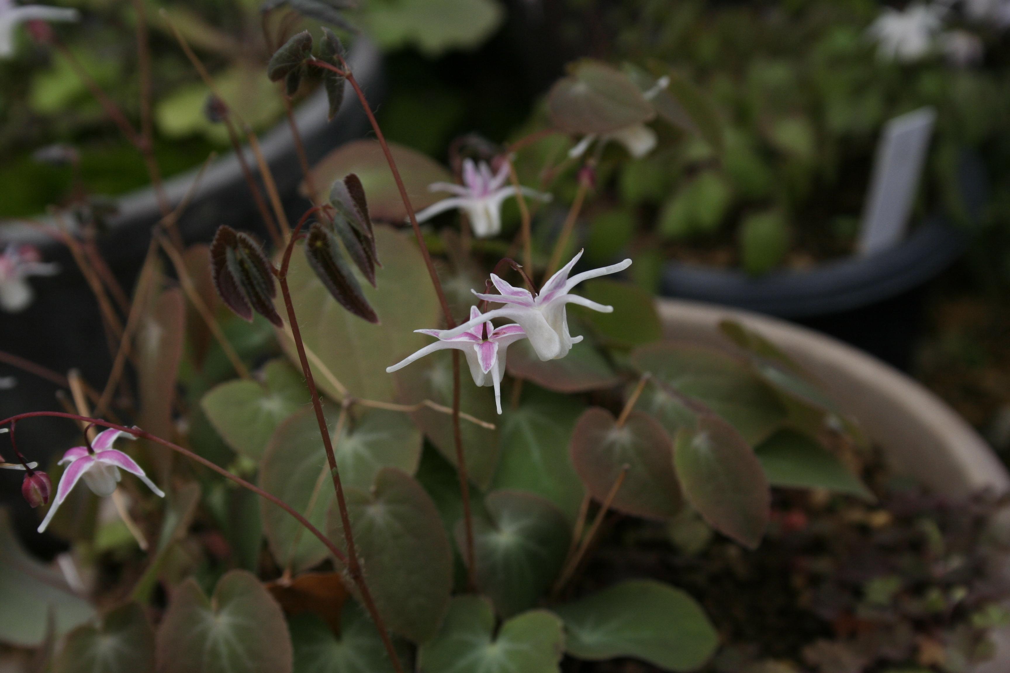 Epimedium x youngianum 'Hagoromo' @ Japan (T. Izumi); deciduous