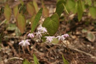 Epimedium 'Harugasumi'