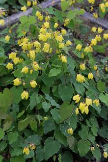 Epimedium 'Lemon Zest'