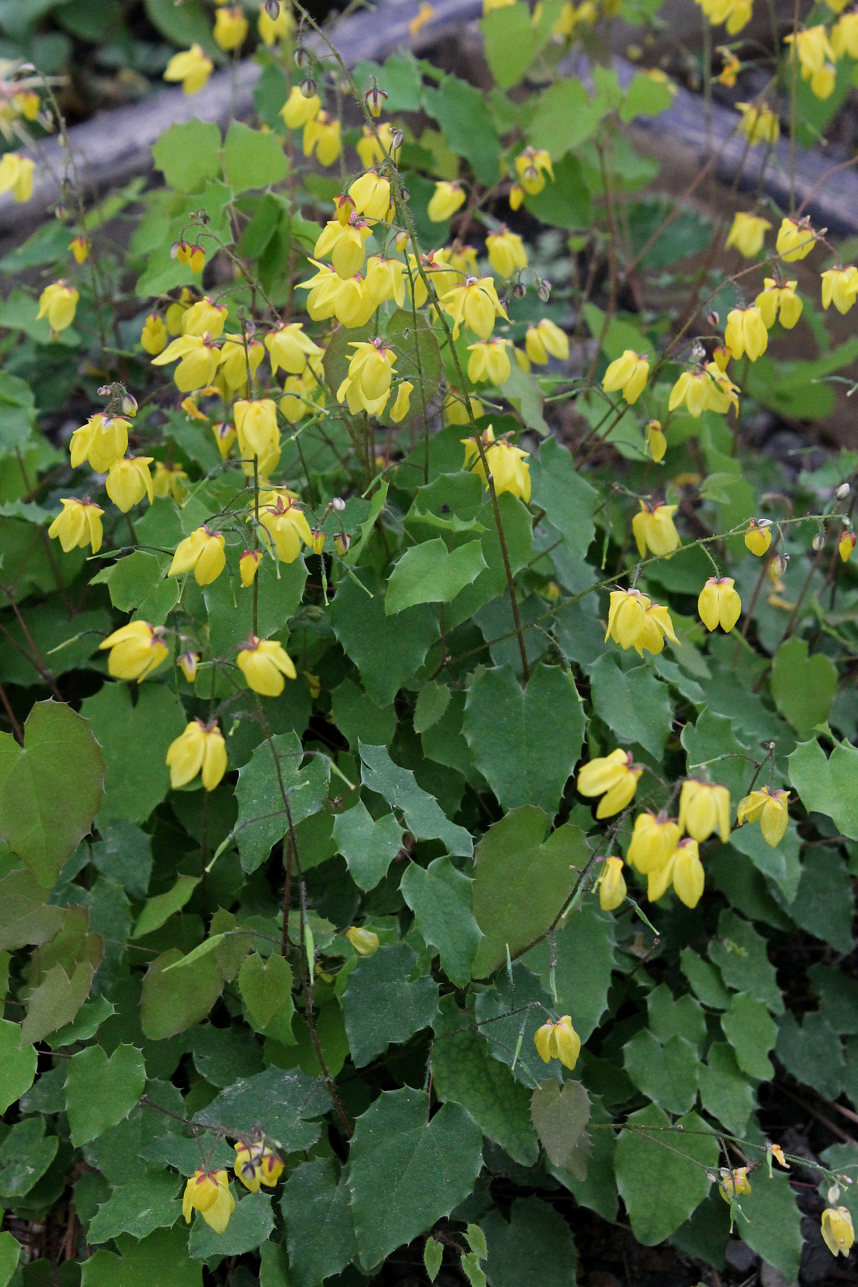 Epimedium 'Lemon Zest' @ JLBG - a 2005 Cobblewood introduction of an Epimedium davidii hybrid; evergreen