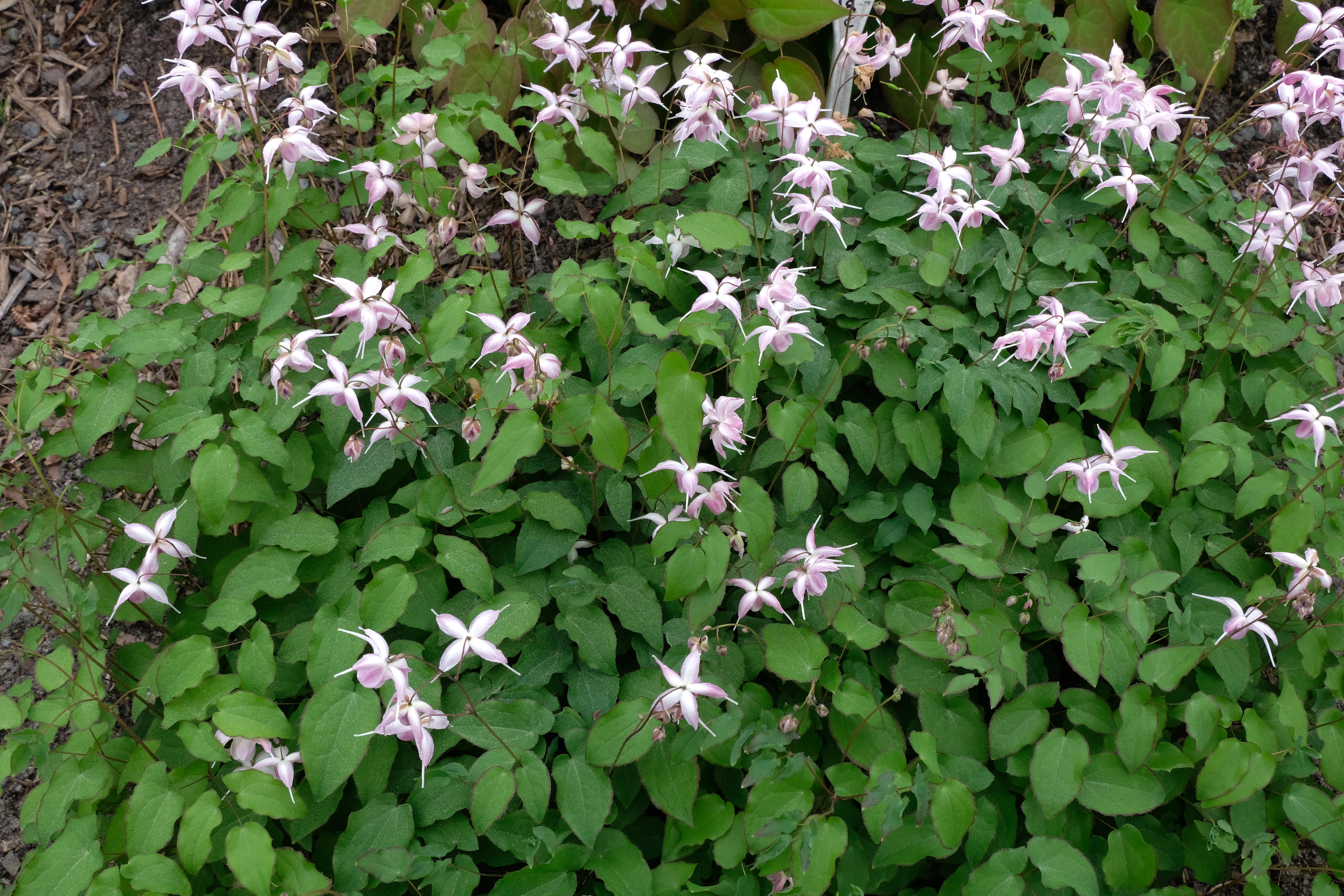 Epimedium 'Making Waves' @ JLBG - a 2003 Diana Reeck/Collector's Nursery introduction