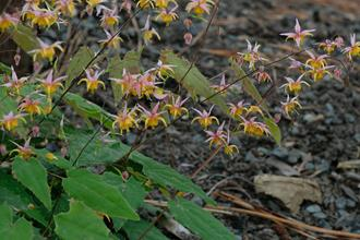 Epimedium 'Mini Pearl'