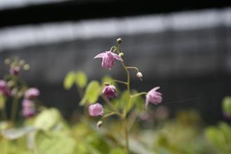 Epimedium 'Murasaki Komachi'