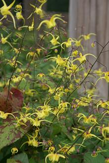 Epimedium 'Old Yeller'