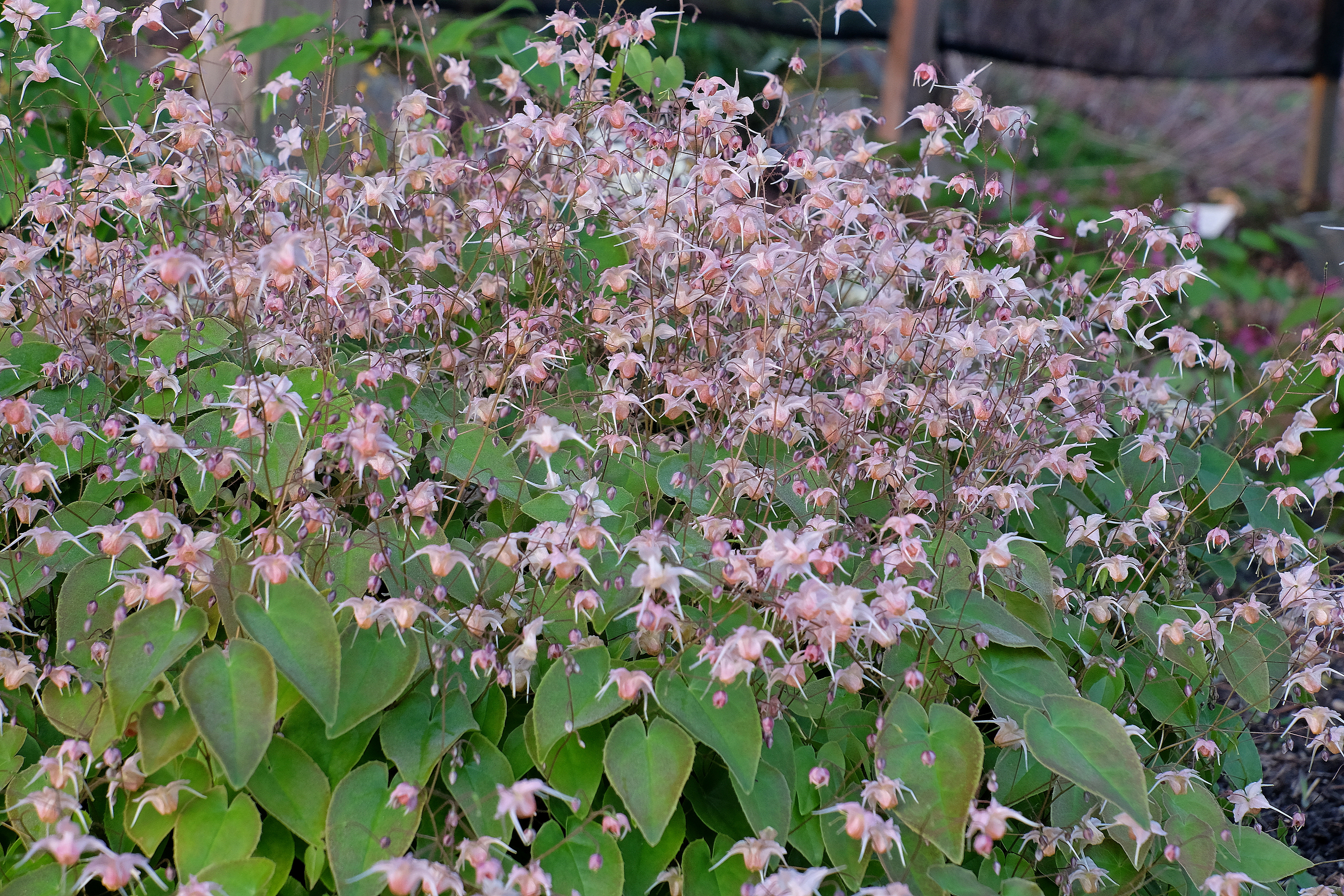 Epimedium 'Peachie' @ JLBG (PDN10-014) - a 2018 JLBG/PDN introduction