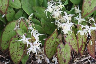 Epimedium 'Picture Frame'