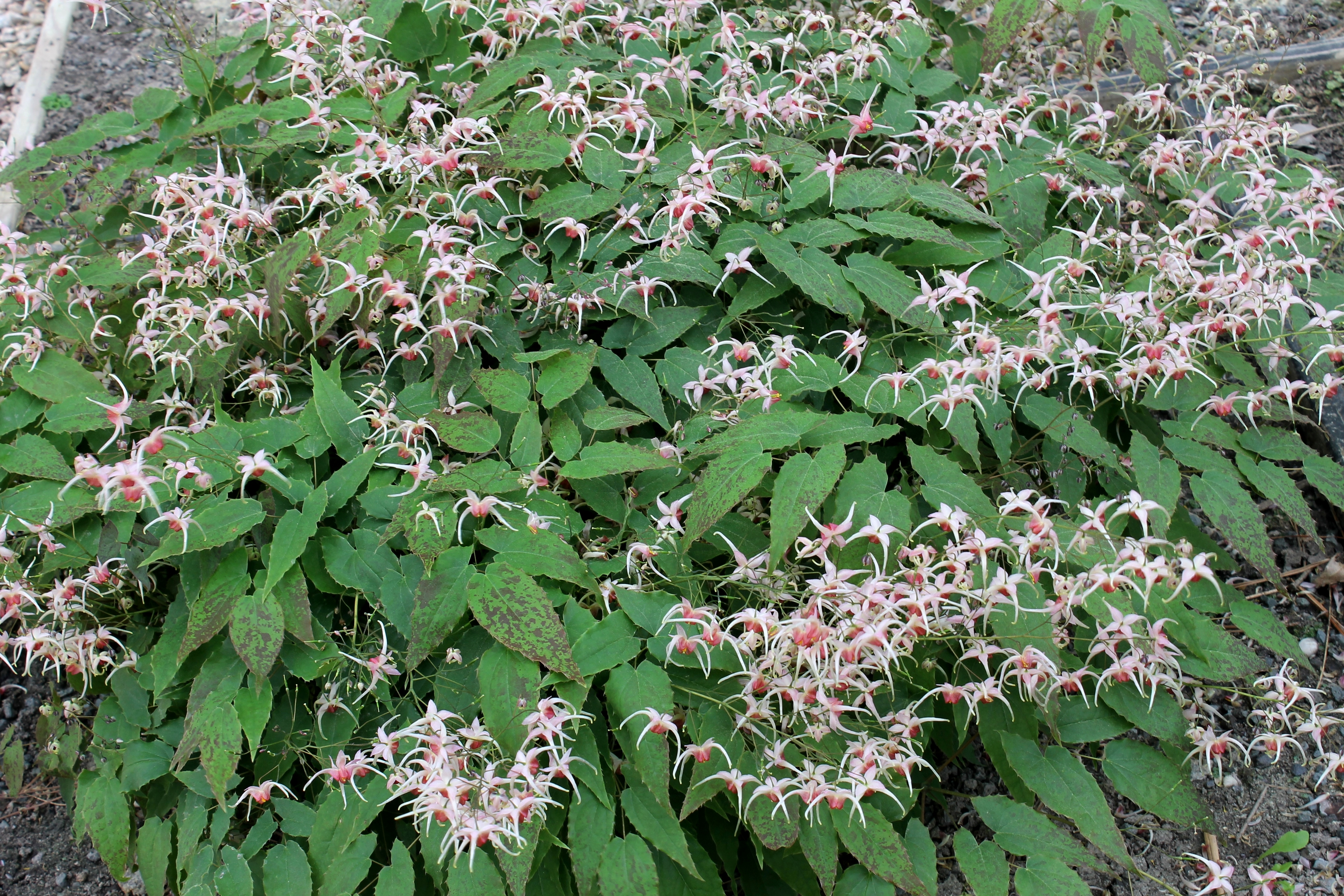 Epimedium 'Pink Champagne' @ JLBG - a 2007 Cobblewood introducton; evergreen