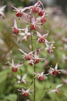 Epimedium 'Pink Elf' PP 17,228