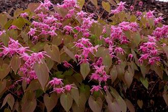 Epimedium 'Pink Parasol'