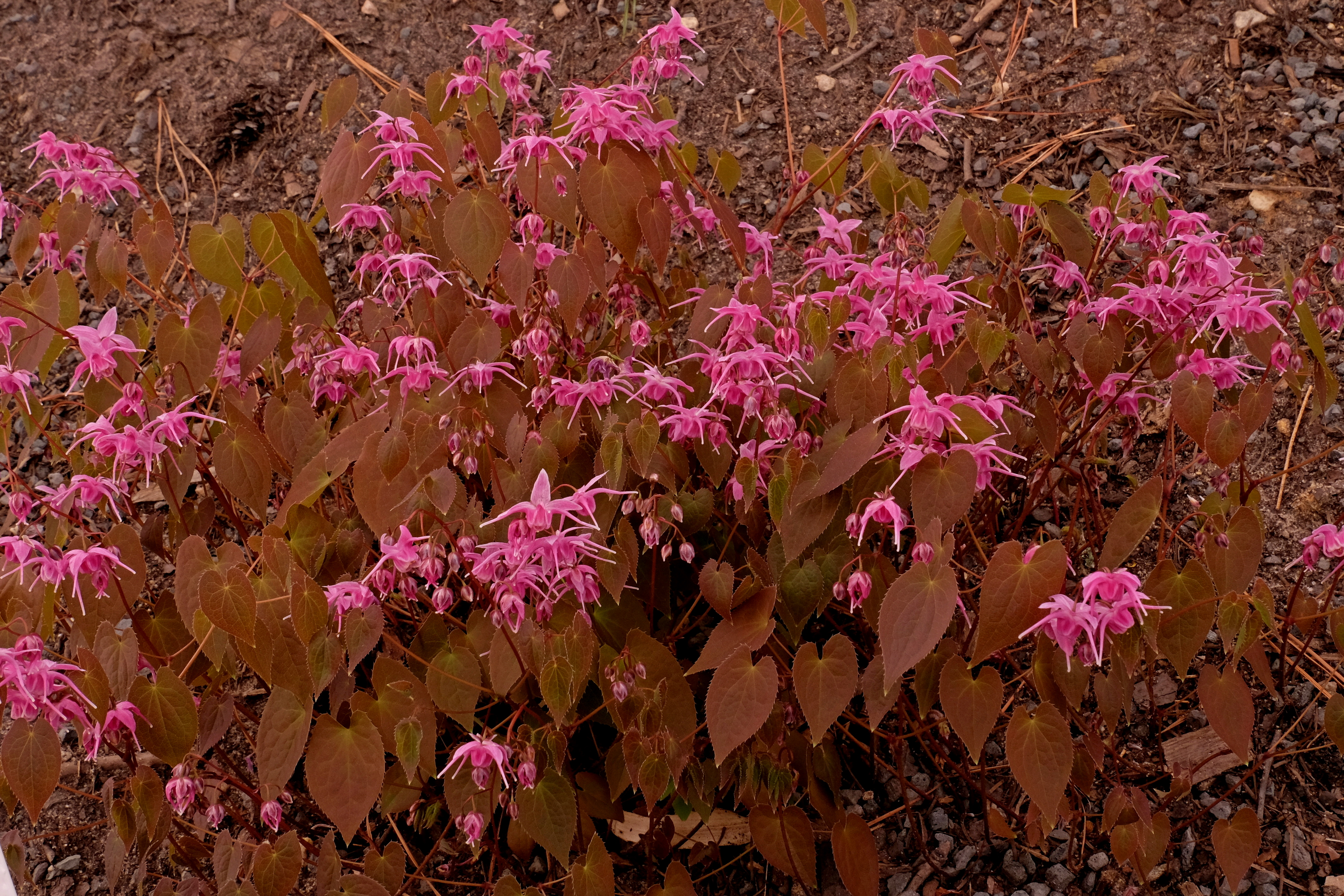 Epimedium 'Pink Parasol' @ JLBG - (PDN05-016) - A 	2010 JLBG/PDN introduction