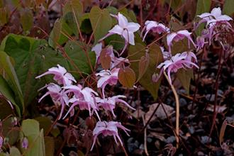 Epimedium 'Raspberry Rhapsody'