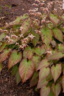 Epimedium 'Rise and Shine'