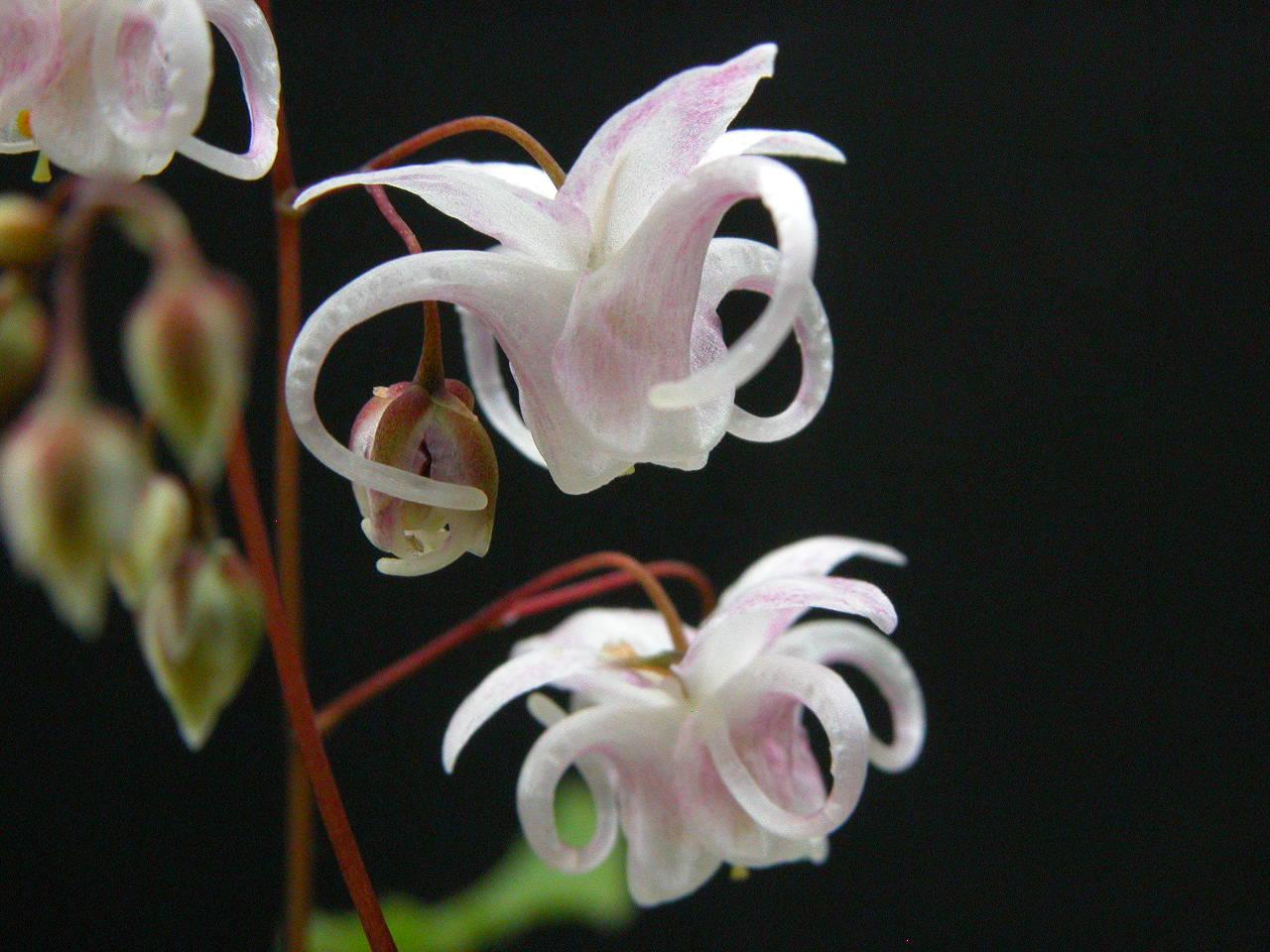 Epimedium 'Sakuramaru' @ Japan (T. Izumi)