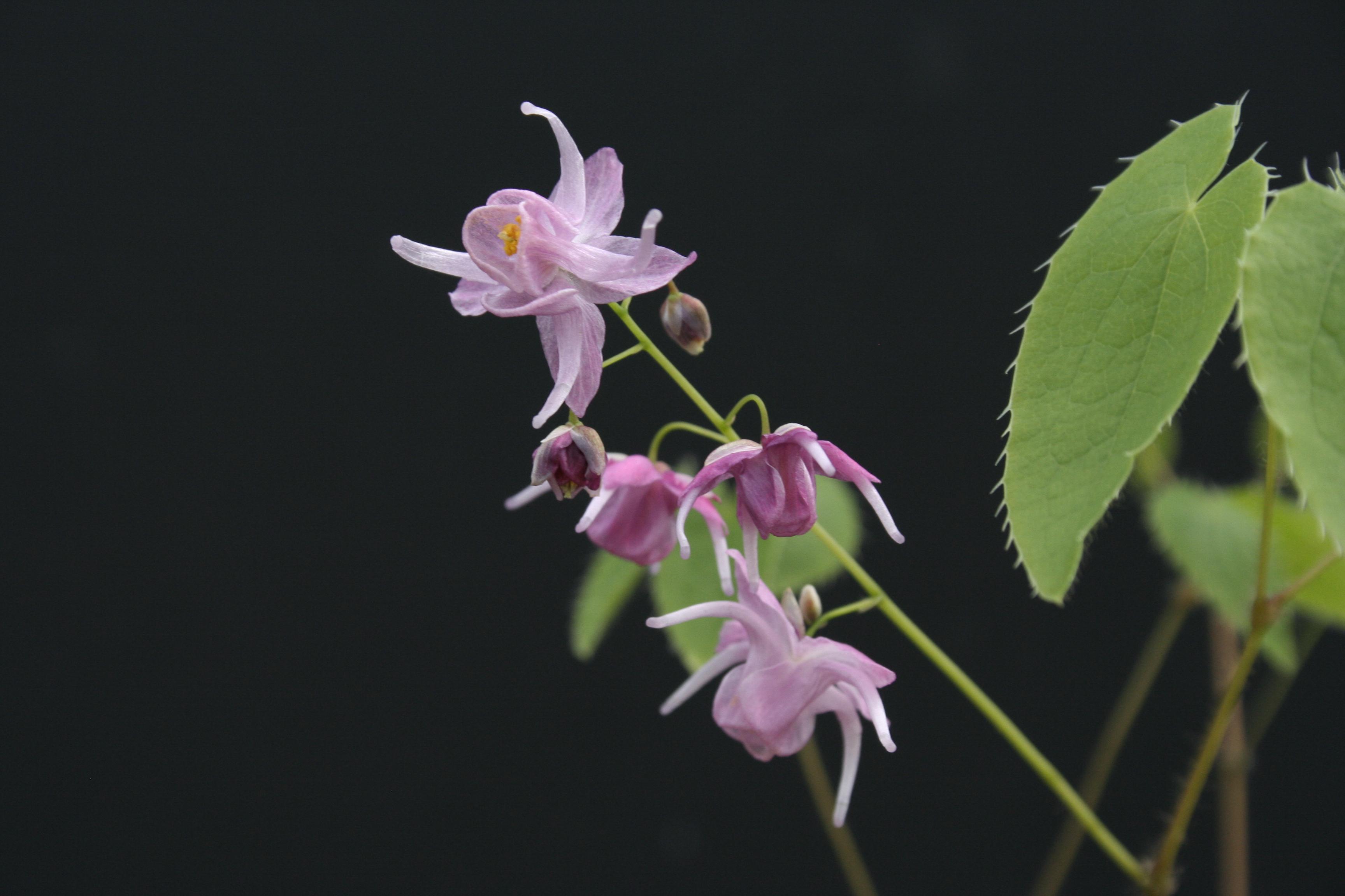 Epimedium grandiflorum 'Shiho' @ Japan (T. Izumi); deciduous