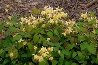 Epimedium 'Sun Showers'