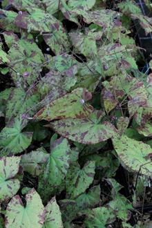 Epimedium 'William Stearn'